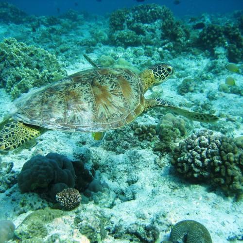 HawksbillTurtle Lonestar diving