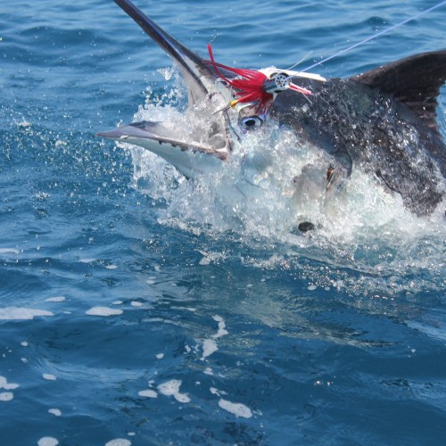 Most popular species , include Sailfish, Wahoo, Rainbow Runner,Yellow Fin Tuna, Job Fish , Dorado and obviously Marlin !